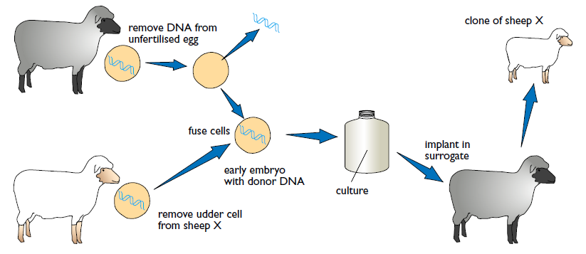 bio ethical issues on artificial cloning Online bioethics resources there are three different types of artificial cloning: what are some of the ethical issues related to cloning.